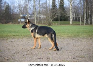 Young germanshepherd puppy in summer