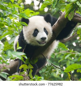 Young giant panda bear in tree