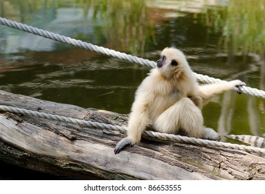 Young Gibbon Monkey in Vienna Zoo