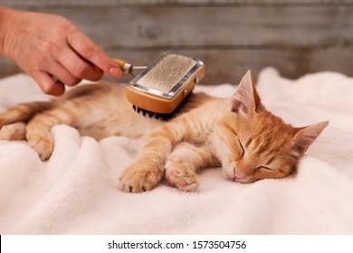 Young ginger kitten enjoy fur brushing by owner - lying on fluffy white blanket