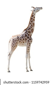 Young Girafe in full body isolated on white background. Copy space