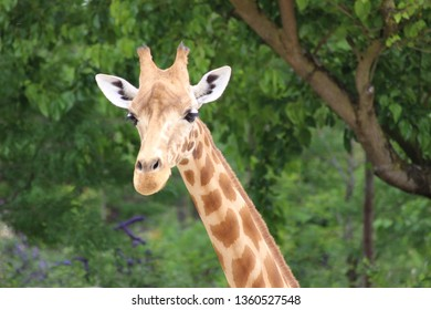 young giraffe in front of trees