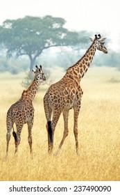 A young giraffe and his mother (Giraffa camelopardalis) walking into savannah in Serengeti National Park, Tanzania