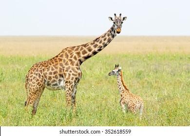 A young giraffe and his mother (Giraffa camelopardalis) in Serengeti National Park, Tanzania