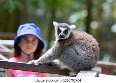 Young girl (age 8-9) looking at Ring-tailed lemur Primate looking at the camera.