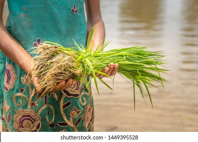 Young girl farmer holds rice saplings as she walks ankle deep in the rice paddy field