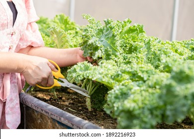 Young girl farmer using scissors for cut green fresh kale, organic hydroponic vegetable in greenhouse garden in nursery farm. Business and market concept