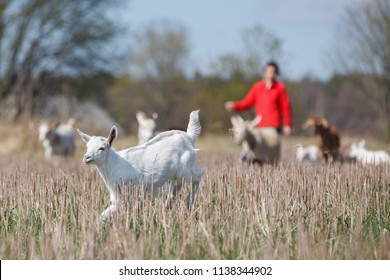Young girl in red shepherd goatlings in the meadow, and one naughty white goatling run away