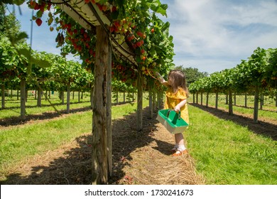 young girl strawberry picking on a summers day