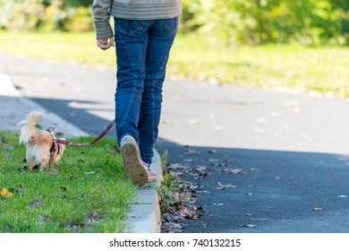 Young girl take the dog for walkies. Small cute chihuahua on the lead.