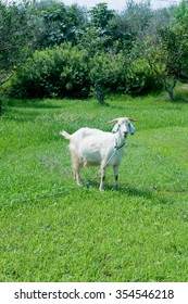 Young goat grazing on the green grass, italy