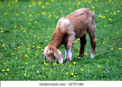 young goat in green meadow eating grass