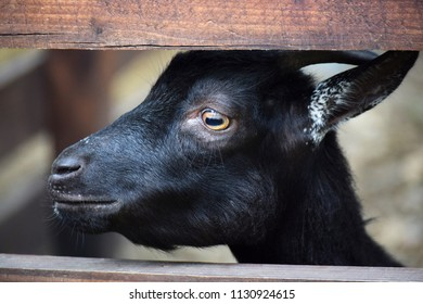 The young goat with horns.
