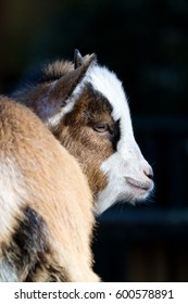 Young Goat Kid