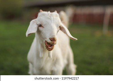Young goat kid looking into camera, with mouth open, small teeth visible