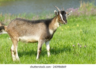 Young goat pasture on a green grass