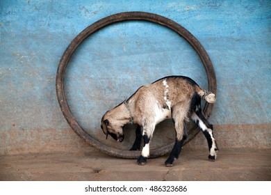 Young goat playing with a tire in a village in Jharkand, India