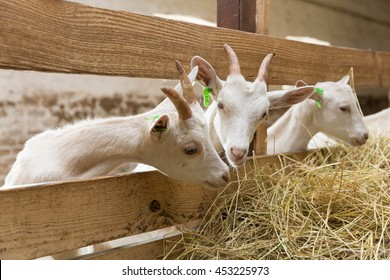 Young goatlings eating hay in a stall on a farm. Feeding on animal farm