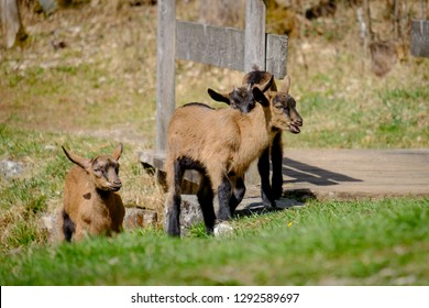 Young goats are playing on a green meadow in Bavaria, Germany
