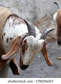 Young goats spar in the narrow streets of Varanasi, India