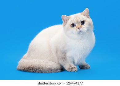 young golden color point british kitten on light blue background