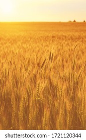 Young golden ears of rye on a sunset or sunrise in summer. Sunbeam on a background.