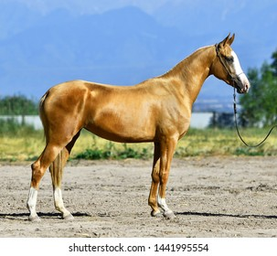 Young golden palomino Akhal Teke horse standing outside in a sun in summer. Side view.