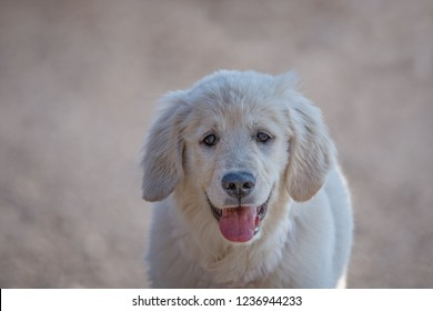 Young Golden Retriever breed dog with light fur stares into your eyes, horizontal image with a light background.