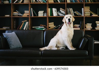 Young golden retriever dog in library