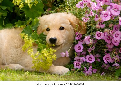 Young Golden Retriever dog puppy playing with colorful flowers in a garden on a sunny day in summer