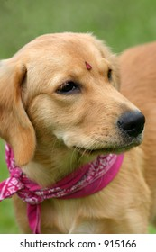 A young golden retriever with a forehead sticker and scarf