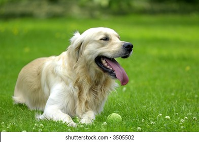 Young golden retriever guarding his tennis ball while huffing and puffing after a game of fetch