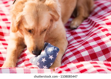 Young Golden Retriever Puppy Plays with Chew Toy on a Red and White Cloth