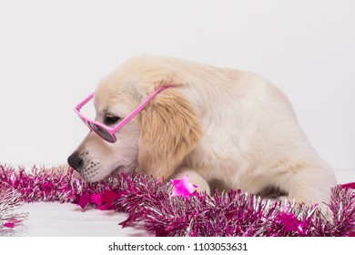 young Golden Retriever ready for the party.