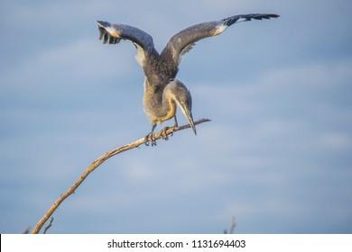 Young Goliath herons in lake baringo