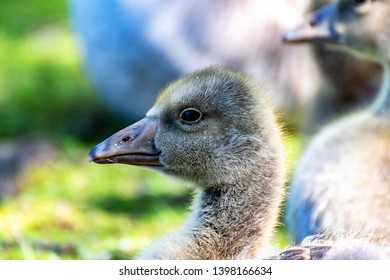 young goose in spring, very cute
