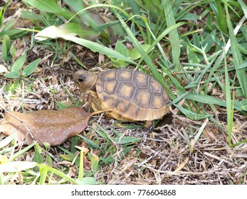 A young gopher tortoise slowly makes his way through the wild grass