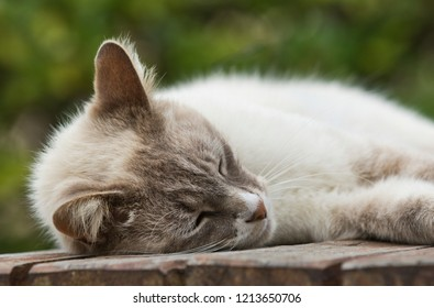 Young gorgeous  brown and white domestic cat asleep on a slatted wooden table