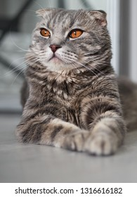 Young gorgeous tabby scottish fold cat lying on floor