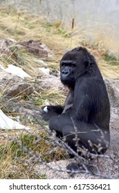Young gorilla crouching while holding a snowball