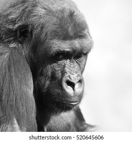 Young gorilla female with low state in the monkey family on blur background. Sad eyes of the monkey, great ape, the most dangerous and biggest primate of the world. Black and white image.