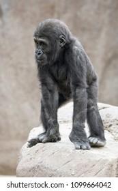 Young Gorilla on a boulder