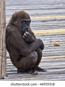 Young Gorilla setting like he is deep in thought