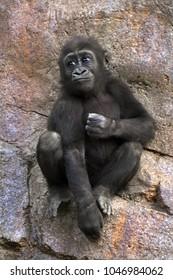 Young gorilla sitting