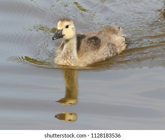 A young gosling out for a swim.