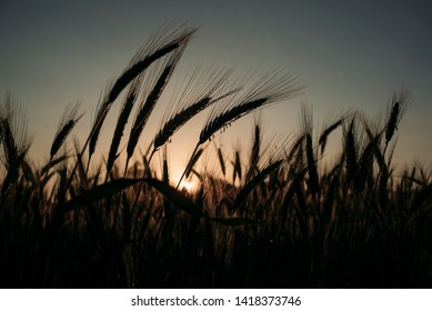 Young grain on the sunset dark
