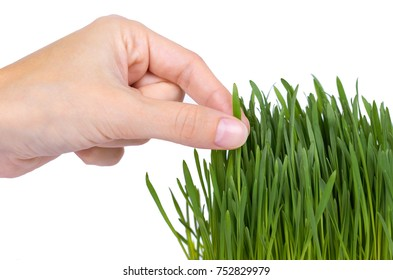 Young grain sprout in hand isolated on white background, green grass, healthy food