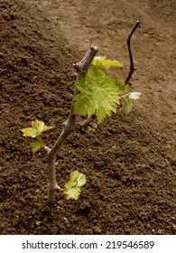 young grape cutting with first leaves