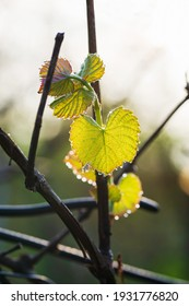 Young grape leaves on a vine in drops of morning dew in the early morning rays
