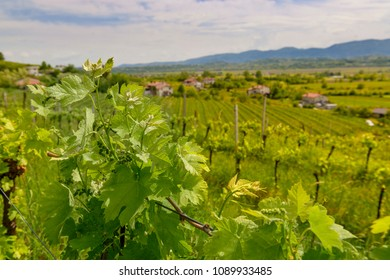 Young grapes growing on a vineyard in Vipava Valley, Slovenia. Spring rural scene.